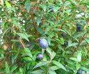 ミルタス(ギンバイカ 銀梅花)《熱帯果樹苗》