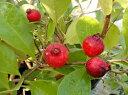 【鉢植】ストロベリーグァバ(赤実グアバ)《熱帯果樹苗》