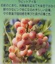 ブルーベリー フロリダローズ 苗木(ラビットアイ系)5寸ポット ピンクのブルーベリー 《果樹苗》「☆」