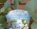 ユーカリ ポポラス (4寸ポット苗)「05P03Dec16」