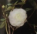 【ツツジ】 千重咲き(八重咲き)白花エゾムラサキツツジ「☆」