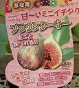 【小苗】 ブラウンターキー(イチジク)《果樹苗》「☆」