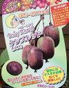 ベビーキウイ:ケンズレッド(メス木):《果樹苗》*樹高5センチ程度!「☆」