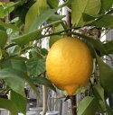 リスボンレモン《果樹苗》「☆」