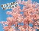 【大株】チャンチン:フラミンゴ「05P03Dec16」
