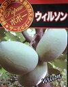 【鉢植え 接ぎ木】  ポポー ウィルソン 《熱帯果樹苗》「☆」