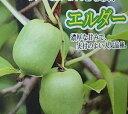 【両性種】サルナシ エルダー(さるなし)*樹高10センチ程度「☆」