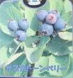 【大株】サスカトーンベリー(果樹苗)「☆」