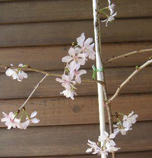 枝垂れ富士桜(富士の糸しだれ) 3寸ポット 「☆」