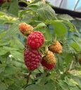 赤実ラズベリー(インディアンサマー)《果樹苗》