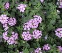 コバノランタナ(紫色)2ポットセット「☆」