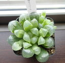 ハオルチア 紫オブツーサ(ハオルシア 多肉植物)7.5センチポット