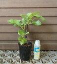 カドタ(イチジク)3寸ポット植え《果樹苗》