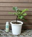 【5寸鉢植え】カドタ(イチジク)《果樹苗》