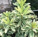 白斑 姫ユズリハ(姫ユズリ葉) 6寸鉢植え