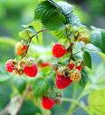 【トゲナシ】大実赤実ラズベリー グレンアンプル 4寸ポット植え《果樹苗》トゲなしラズベリー