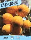 枇杷、ビワ(田中)《果樹苗》