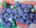 ブルーベリー チャンドラー【3寸ポット植え】 苗木 (ノーザンハイブッシュ系)《果樹苗》