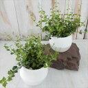ディスキディア ルスキフォリア ミリオンハート 3号サイズ 観葉植物