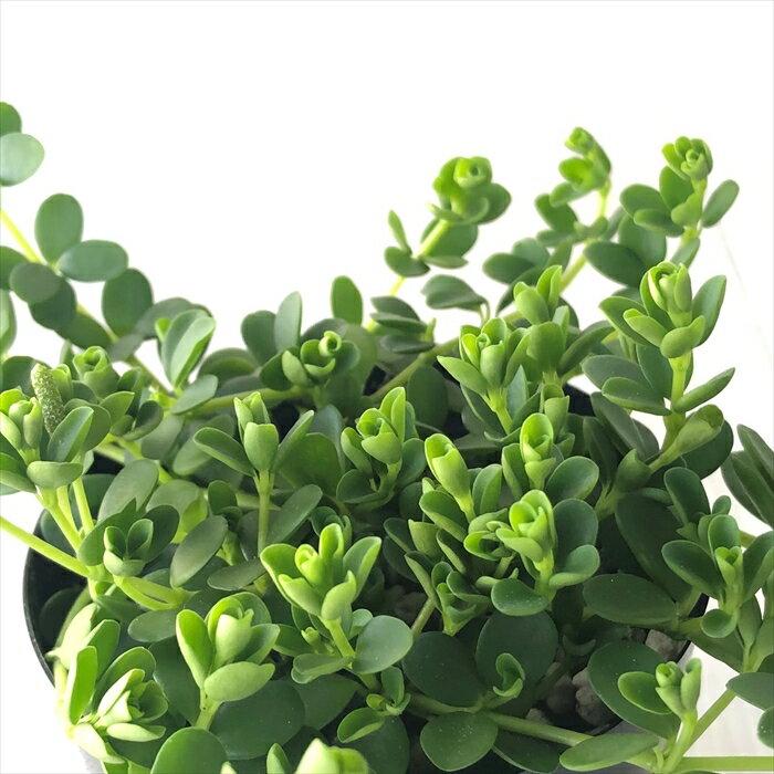 ペペロミア・デピーナ 観葉植物 ポット苗