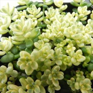 タイトゴメ 多肉植物