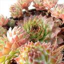 okセンペルビウム ノワール(多肉植物 7.5cmポット)