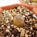 asコノフィツム マウガニ マウガニー(多肉植物 コノフィツム 6cmポット)