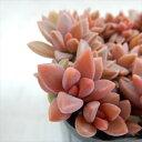 seグラプトペタルム ばらまきブロンズ姫 多肉植物 グラプトペタルム 7.5cmポット