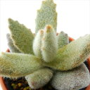 hmカランコエ ラッキーガール 多肉植物 カランコエ 6cm...