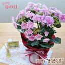 早得ポイント10倍母の日ギフトアジサイキラキラ星母の日ギフト贈り物プレゼントあじさい紫陽花5号鉢