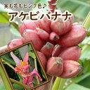 バナナ苗 かわいいピンクのバナナ アケビバナナ トロピカルフルーツ 10.5cmポット