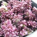 seポーチュラカ ピンキー 多肉植物 9cmポット