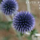 RoomClip商品情報 - 予約販売10月下旬以降発送 宿根草の咲く庭 エキノプス タプローブルー 大苗12cmポット