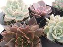 swエケベリア おまかせ3個セット 多肉植物 7.5cmポットの写真