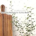ソフォラ ミクロフィラ リトルベイビー メルヘンの木 観葉植物