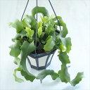 クジャクサボテン グアテマレンス(ミニドラゴンフルーツ) 多肉植物 5号鉢 釣り鉢