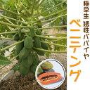 極早生 矮性パパイヤ ベニテング 苗 メス木 10.5cmポット パパイヤ 健康野菜
