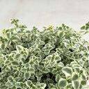 RoomClip商品情報 - seクラッスラ リトルミッシー(多肉植物・9cmポット)