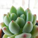 hmセダム 春霞 春萌×スプリングワンダー 多肉植物 セダム 6cmポット
