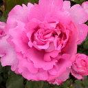 バラ大苗 バラ 苗 薔薇 イヴ ピアジェ 四季咲き 大輪 苗 予約販売