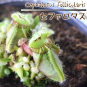 セファロタス 食虫植物 3.5号鉢