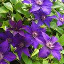 3月中旬発送 充実大株クレマチス さのの紫 ラヌギノーサ系 ...