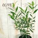 オリーブ シプレシーノ 観葉植物 オリーブの木 苗 10.5cmポット シンボルツリー 庭木