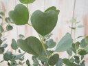 ハートリーフ・ユーカリ(観葉植物・ハーブ・4号鉢)