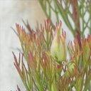 izジョーイセルリア カルメン(珍しい花木 5号鉢)