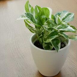 ポトス エンジョイ もっとも美しいポトスの進化型(観葉植物 9cmポット)