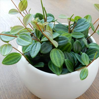 ペペロミア アングラータ(観葉植物 9cmポット)
