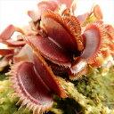 特大食虫植物 ハエとり草 レッド ピラニア(ハエトリソウ 10.5cm)