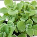 多肉植物 プレクトランサス アロマティカス