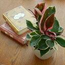 ホヤ カルノーサ リップカラー(観葉植物 インテリアグリーン 9cmポット)